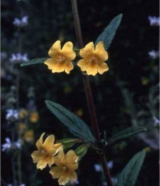 STICKYMONKEYFLOWER